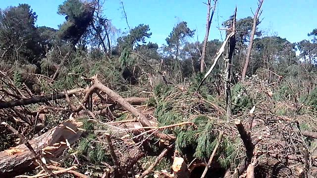 Distruggere pinete in Versilia